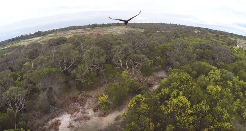 Eagle takes down Drone