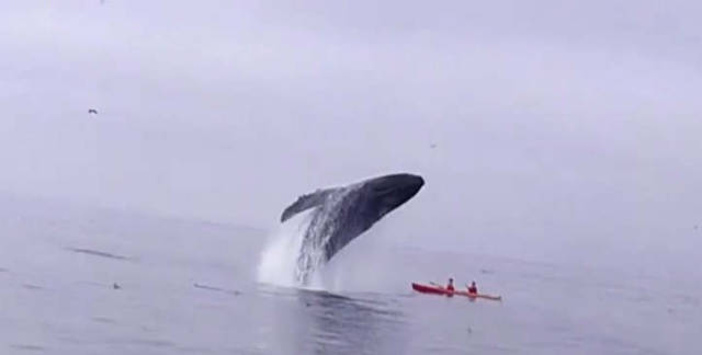 Kayakers were almost crushed by a Whale