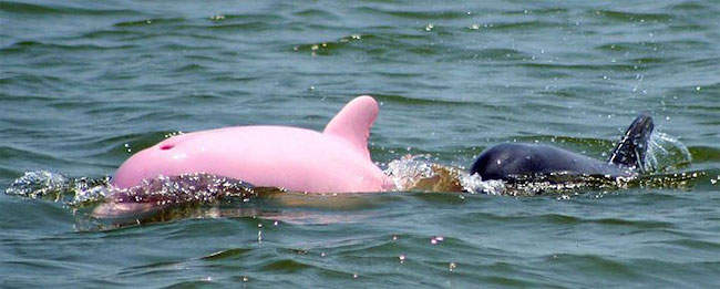 The rare pink dolphin