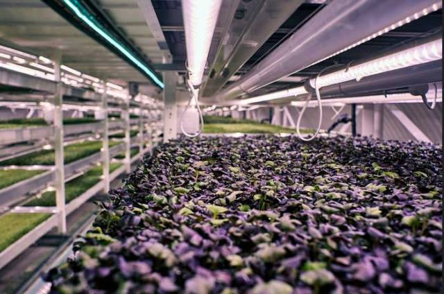 Largest Subterranean Hydroponic Farm in London (6)