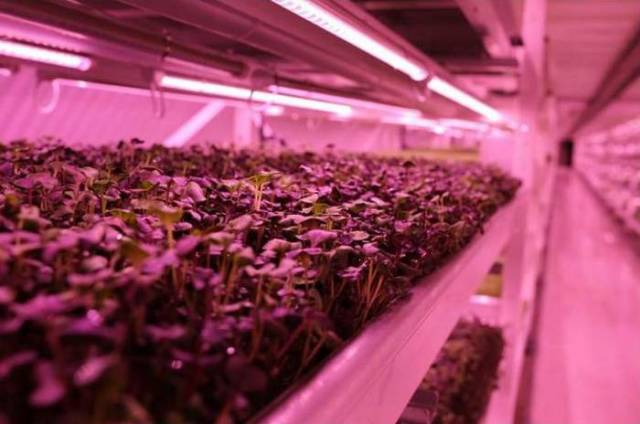 Largest Subterranean Hydroponic Farm in London (4)
