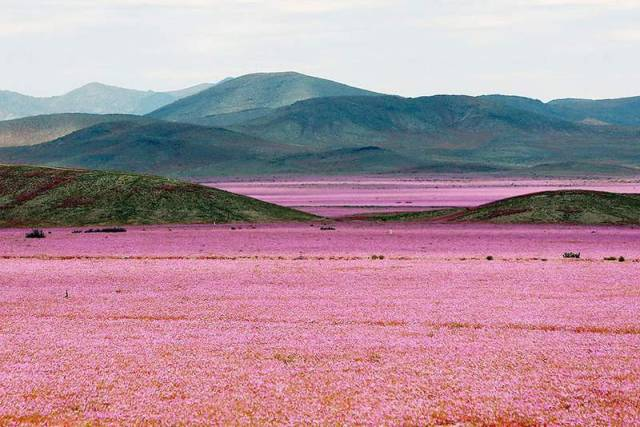 Flowers at the Atacama desert