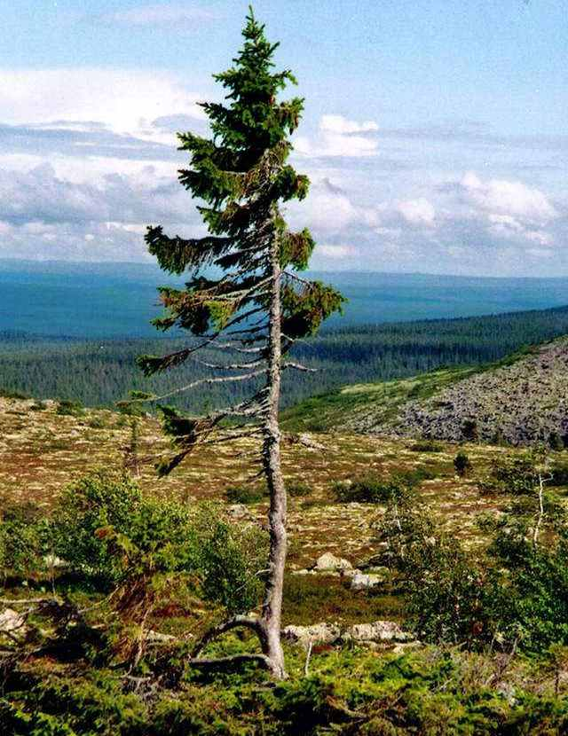 World's Oldest Tree - Old Tjikko (4)