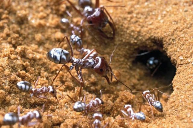Saharan Silver Ants are adapted to tolerate high Temperatures