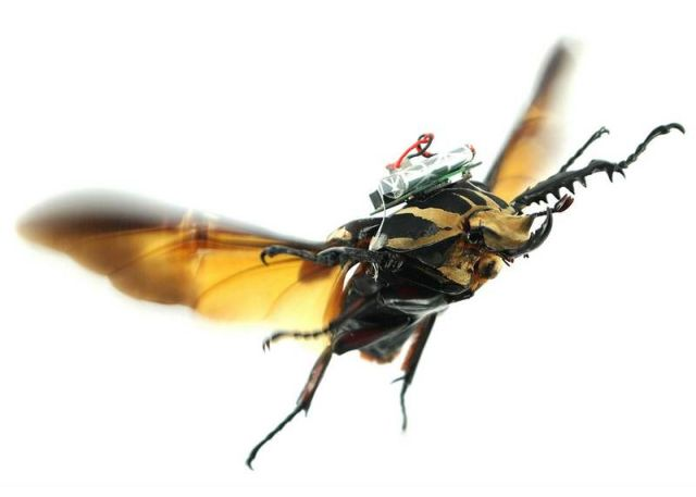 Turning a Beetle into a Remote-Controlled Cyborg