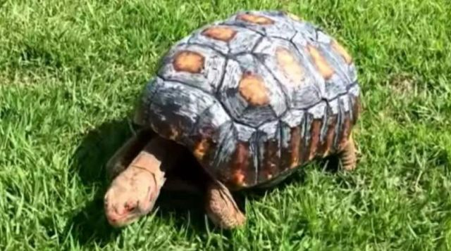 A Tortoise gets a 3D-printed shell