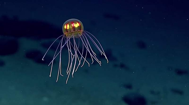 Beautiful Crossota jellyfish