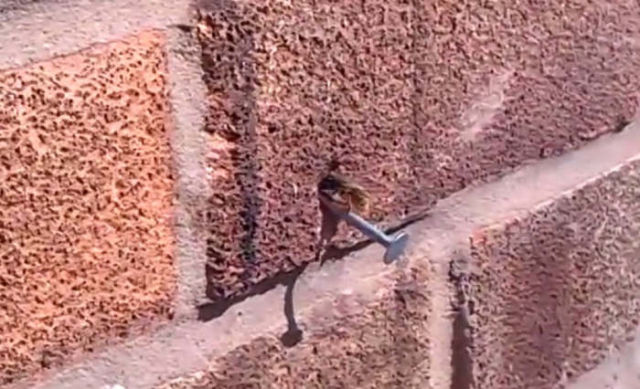 Super strong Bee pulls nail out of a wall