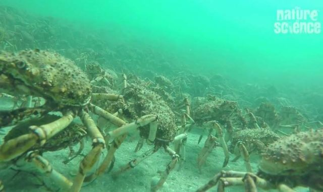 Hundreds of thousands of Spider Crabs