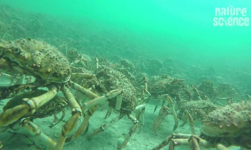 Hundreds of thousands of Spider Crabs | wordlessTech