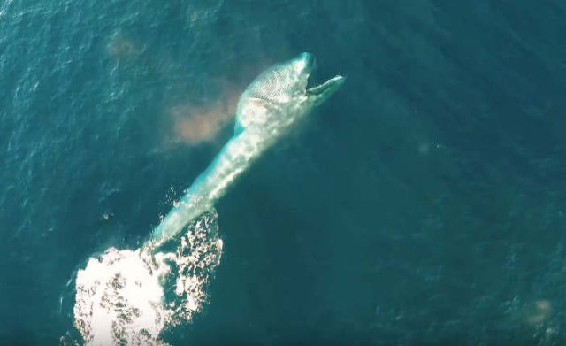 Rare whale footage shot by drone (1)