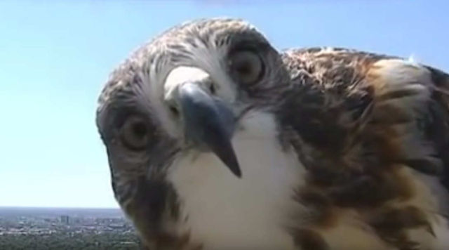 A Hawk is Investigating a Weather Camera (1)