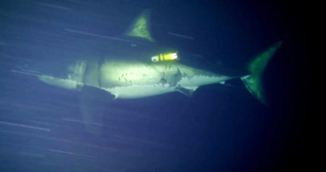 The first footage of a great white shark napping (1)