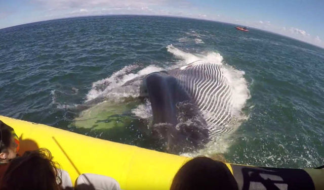 Giant Whale almost eats a tourist boat (1)