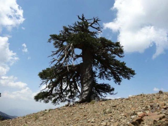 Oldest living Tree in Europe