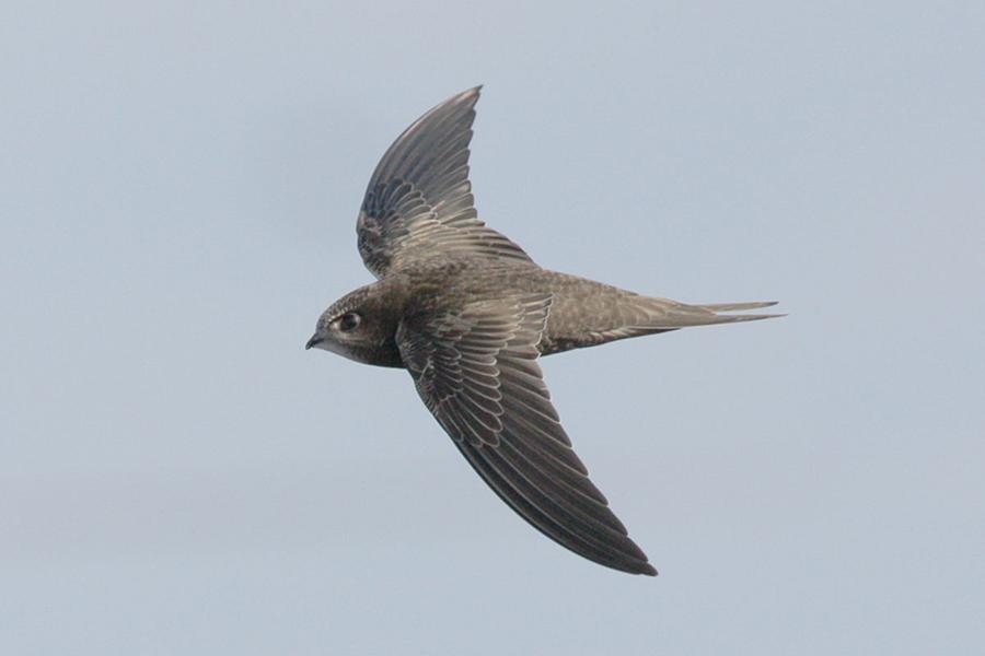 Swifts set record by flying 10 months non-stop
