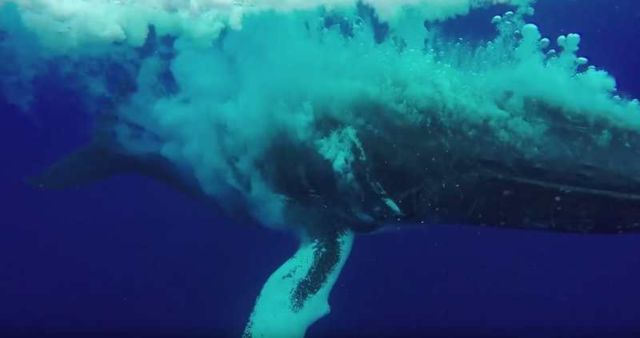 Whale breach nearly misses swimmer - video