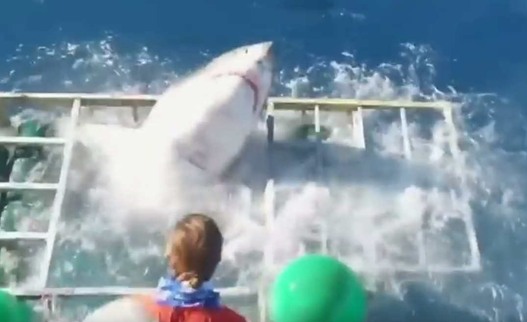 white-shark-smashes-into-divers-cage-1