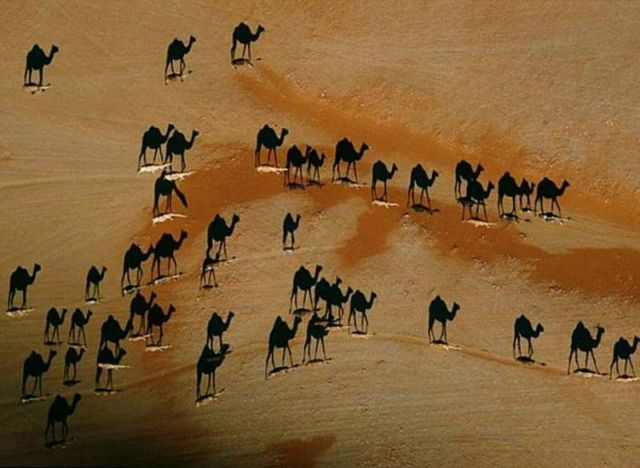 Camel optical illusion