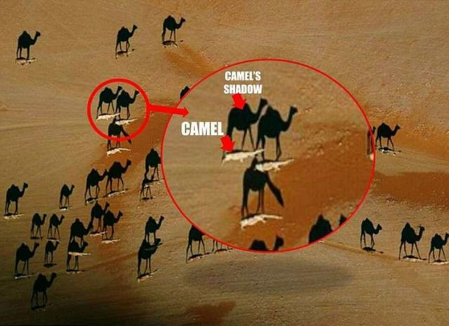 Camel optical illusion