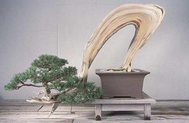 California juniper, Juniperus californica