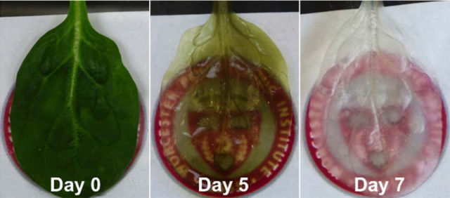 Scientists turn Spinach Leaf into human heart tissue