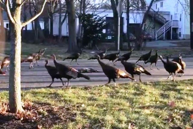 Turkeys Performed a 'Death Dance' around a Cat Corpse
