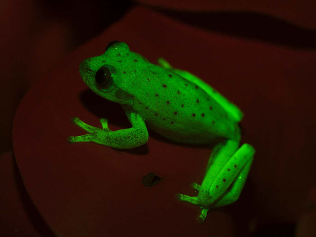 World's first Fluorescent frog discovered