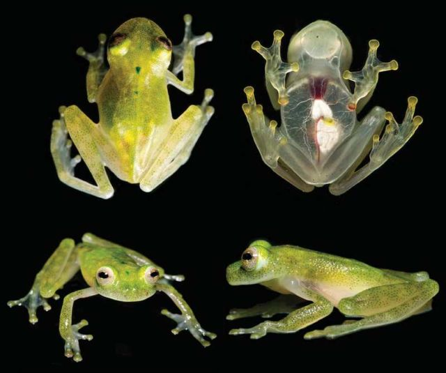 A new glassfrog has visible heart