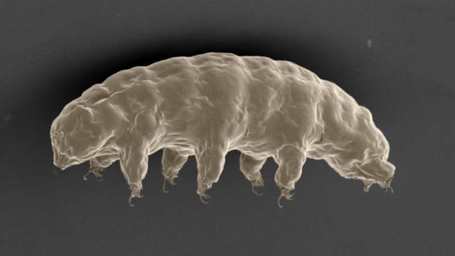 The microscopic Tardigrade
