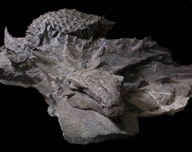 Dinosaur Fossil Borealopelta markmitchelli