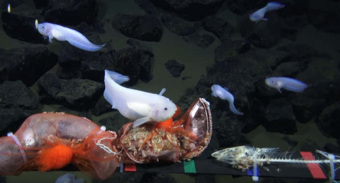 Fish filmed at record depth of 8,178 m