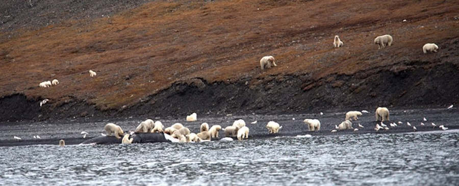 Hundreds of Polar Bears gathered to eat one Whale carcass