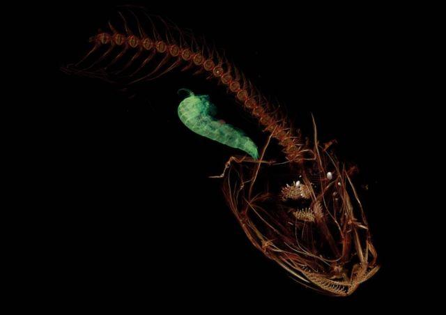 Mariana snailfish or Pseudoliparis swirei