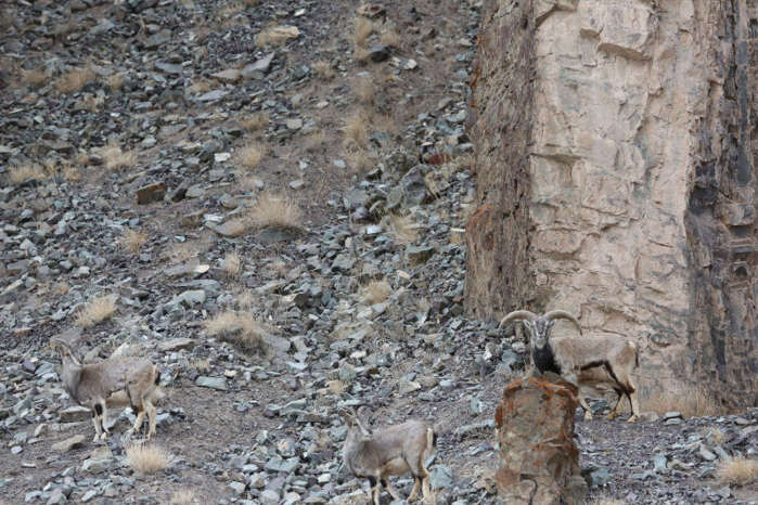 Can you find the Snow Leopard?