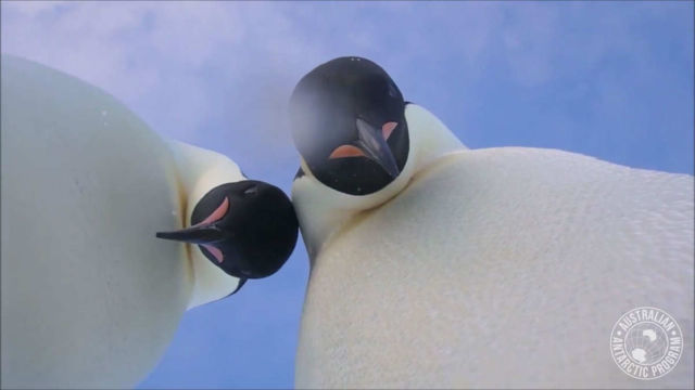 Penguin selfie offers bird's eye view