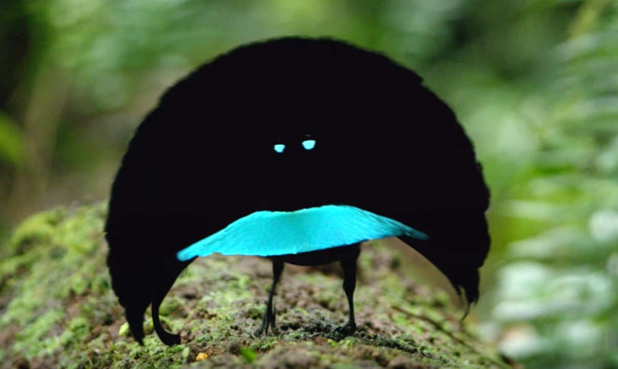 The Vogelkop Superb Bird-of-Paradise