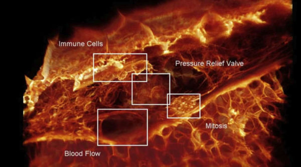 First video of Cells moving through a Living Organism