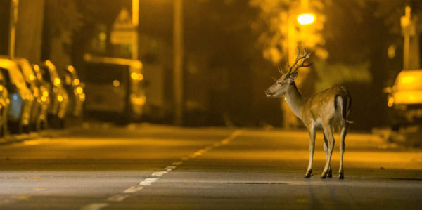 The influence of humans transforms Animals to Nocturnal