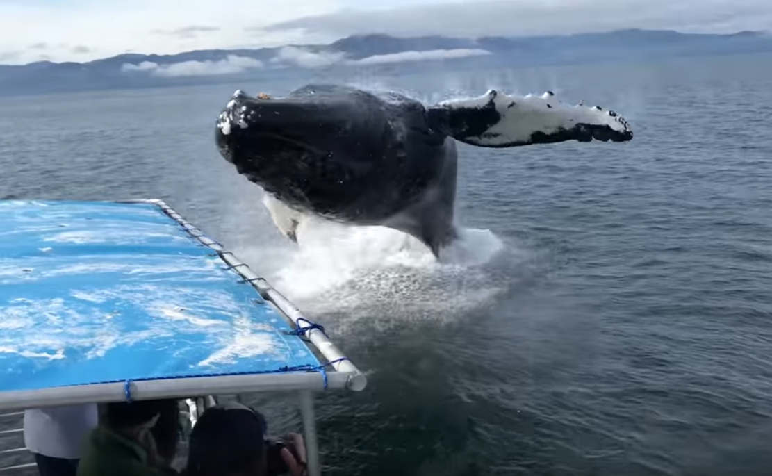 Whale Breaches Next to Boat