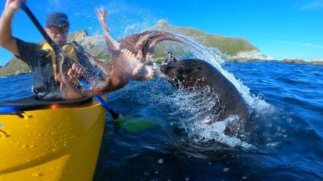 A Seal Slapped a Guy's Face with an Octopus - video
