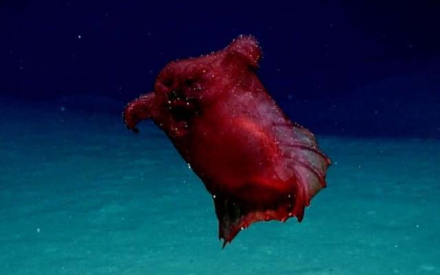Rare Deep-Sea 'Headless Chicken Monster' on video 1