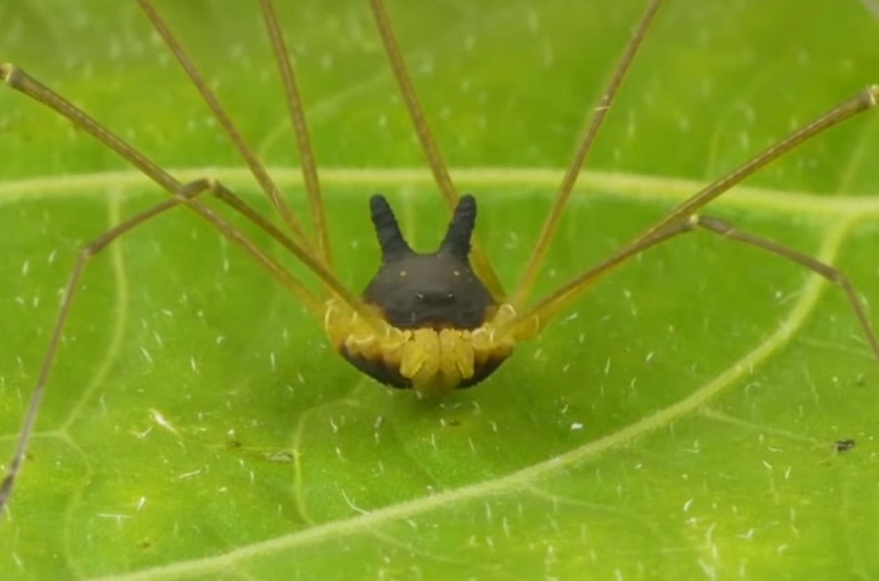 Peculiar Tiny Arachnid with a Black Bunny Head