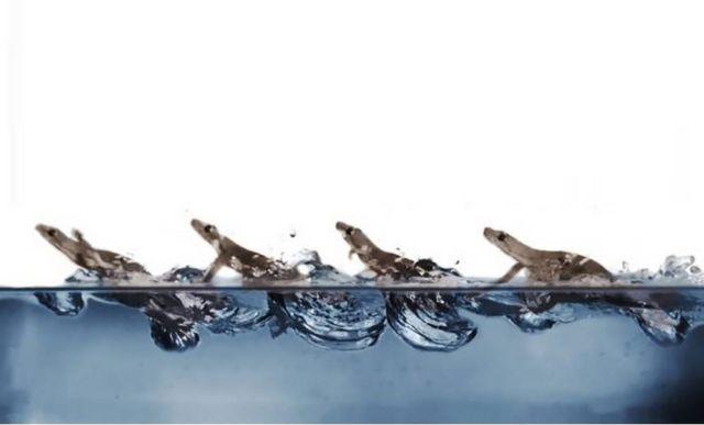 Watch Geckos run on Water