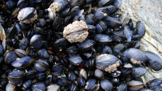 Microplastics causing Mussels to lose their grip