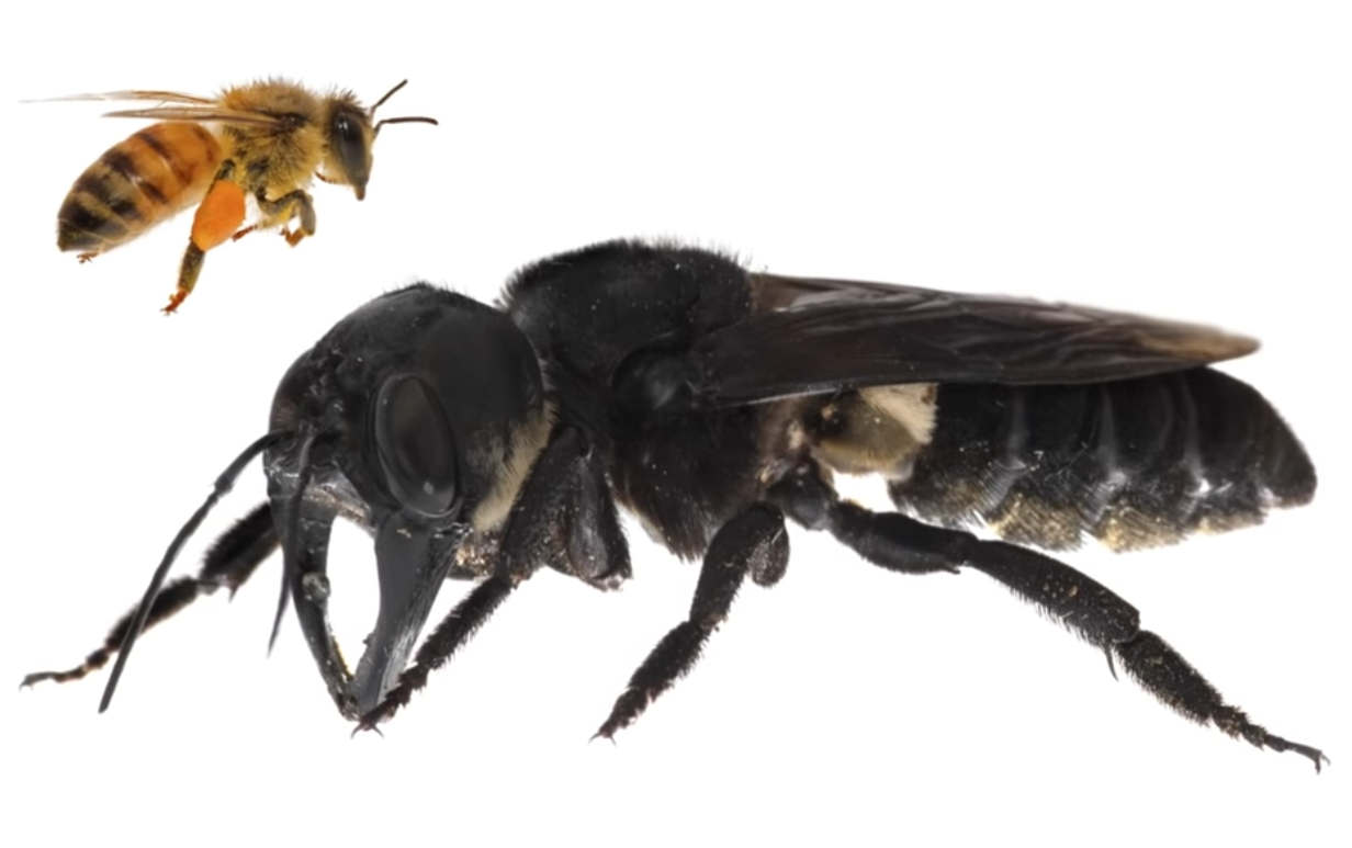 World's biggest Bee found