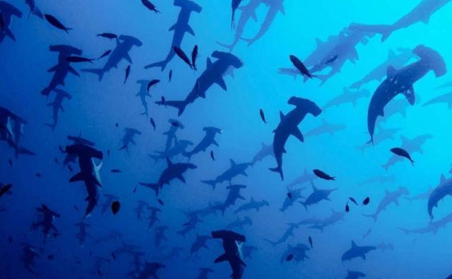 The stunning world of Hammerhead Sharks' Mating Rituals