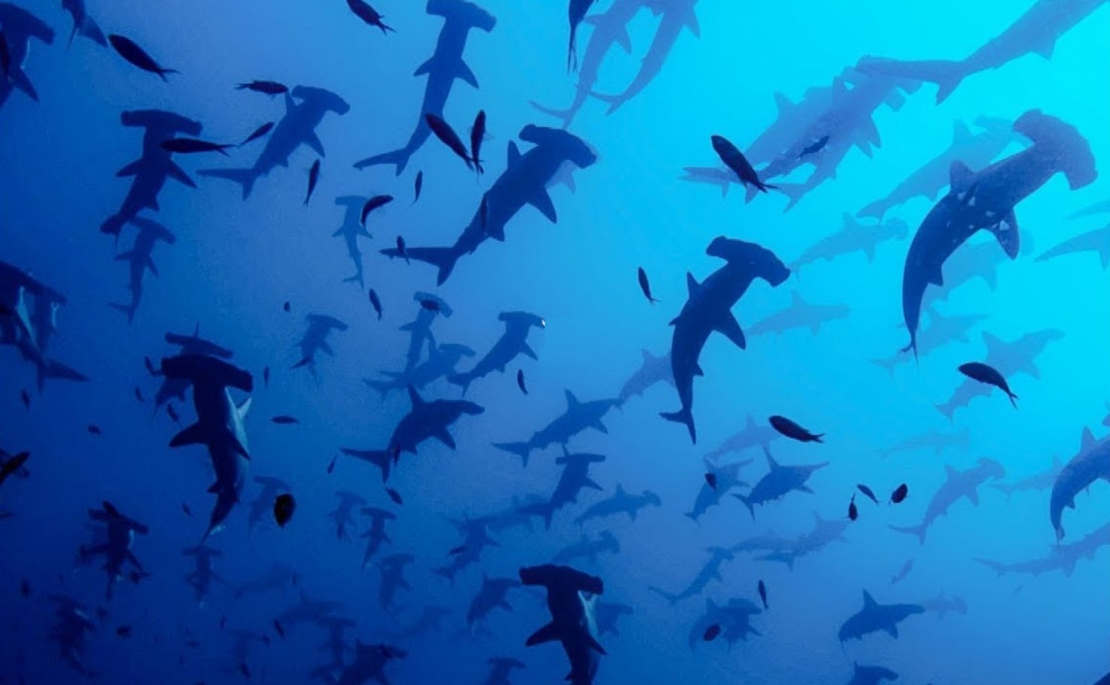 The stunning world of Hammerhead Sharks' Mating Rituals