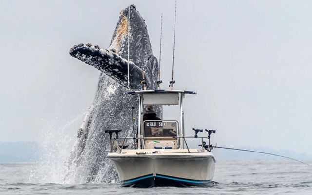 A Giant Whale Jumping next to a small boat