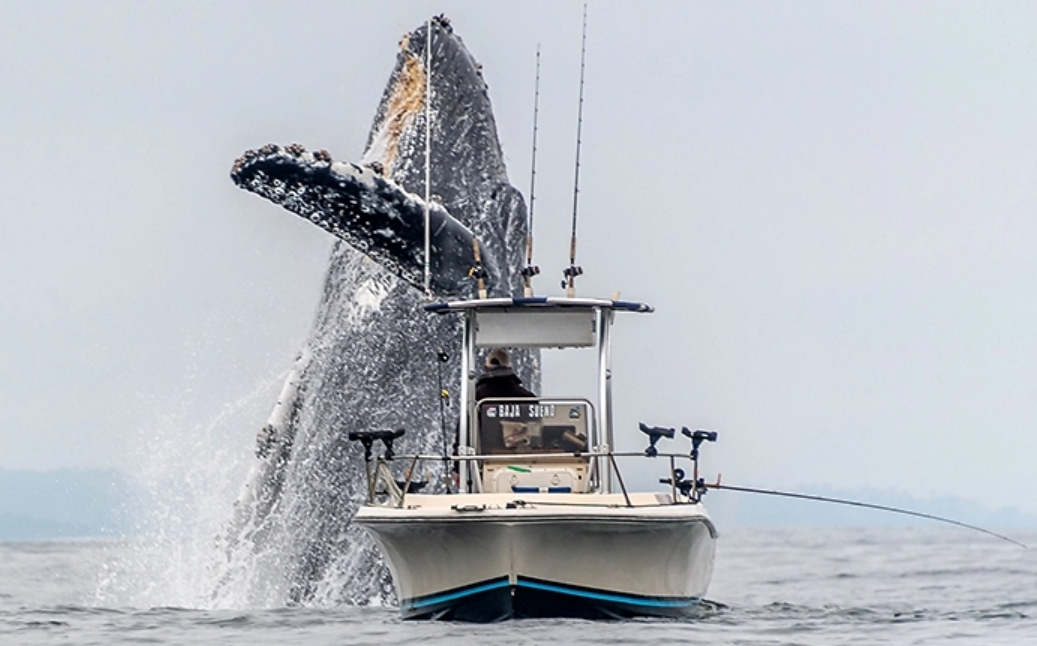 A Giant Whale Jumping next to a small boat – video